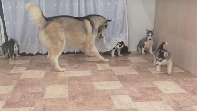 Tatuś husky jest bardzo podekscytowany gdy widzi swoje szczenięta. Zobacz jego reakcję