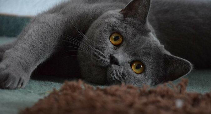Kotka brytyjska po raz pierwszy zobaczyła Sfinksa - filmik przedstawiający jej zabawną reakcję