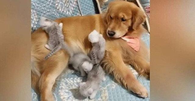 Cztery puszyste kocięta atakują golden retrievera. Jego reakcja jest cudowna