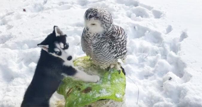 Szczeniak husky zbliżył się do sowy polarnej. To, co wydarzyło się później, jest po prostu zaskakujące