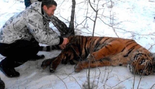 Tygrys z pętlą na szyi przyszedł do ludzi z prośbą o pomoc