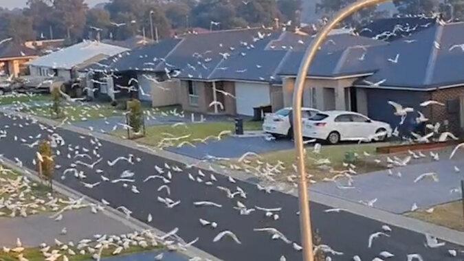 Ogromne stado papug zniewoliło przedmieścia Sydney. Filmiki stamtąd stają się popularne