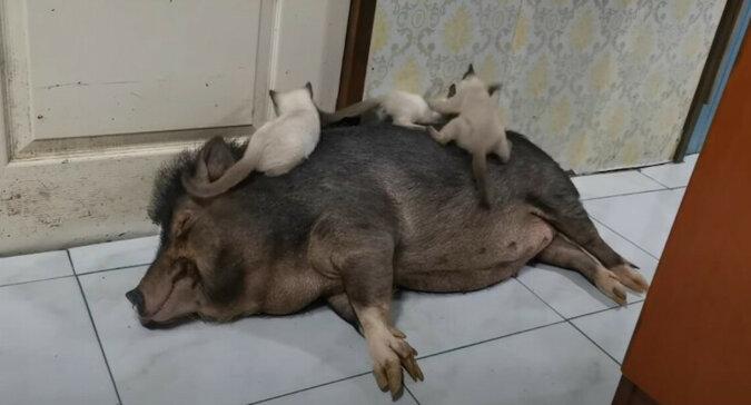 Kocięta bawią się na śpiącej świni, ale ona nie ma nic przeciwko temu