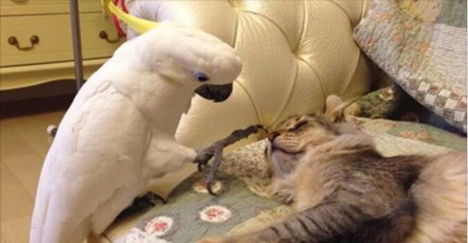 Nieśmiała papuga delikatnie budzi kotkę. Wideo