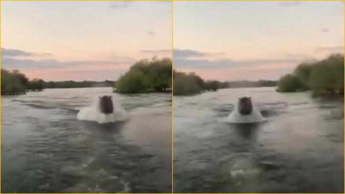 Wściekły hipopotam ściga turystów: przerażający filmik