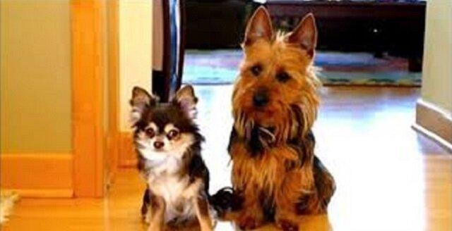 """Zapytała swoje psy """"Kto zrobił kupkę w kuchni?"""". Spójrz na reakcję tego po prawej"""