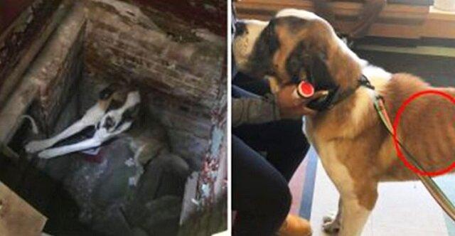 Pies rasy Bernardyn jadł wióry, aby przeżyć