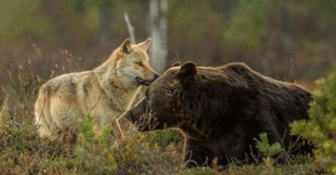 Niesamowita przyjaźń między wilczycą a niedźwiedziem, którą udało się uchwycić mieszkańcu Finlandii