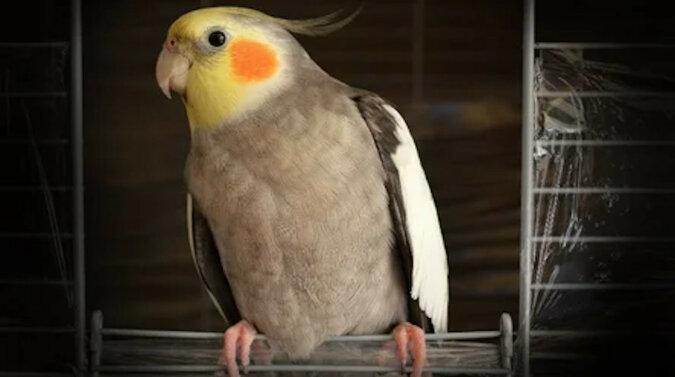Tak mogę: papuga rozbawiła sieć swoją nową sztuczką. Wideo