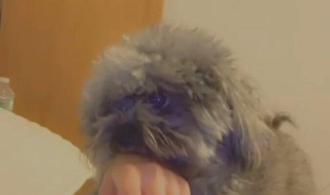 Pies gryzący dziewczynę udaje niewinnego, gdy dziewczyna zaczyna wołać mamę. Zabawne wideo