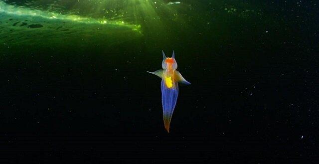 Nieziemskie piękno: tajemniczy morski mieszkaniec – morski anioł