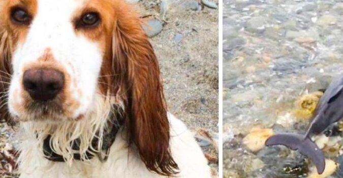 Pies pomógł uratować małego delfina, który utknął na brzegu