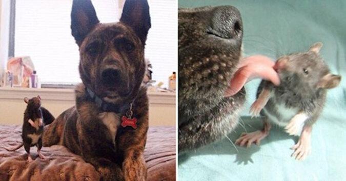 Słodka para: niesamowita przyjaźń szczura i psa