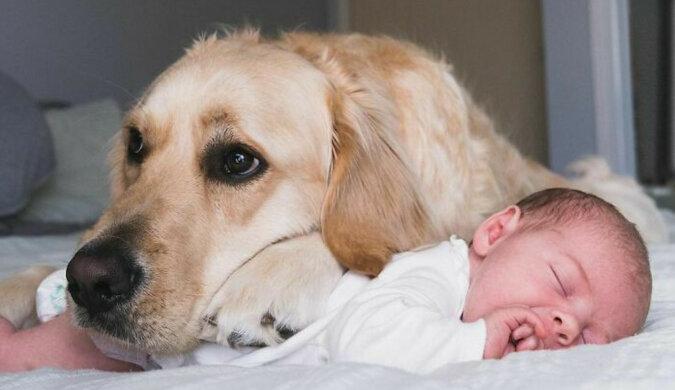 Bardzo urocza przyjaźń: golden retriever opiekuje się dzieckiem od urodzenia