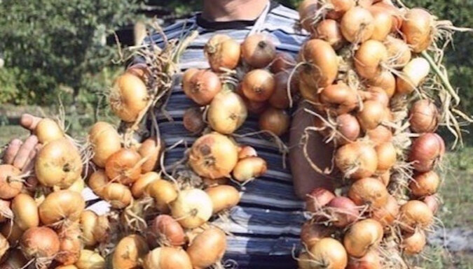 Teraz co roku mam duże zbiory cebuli: 4 proste wskazówki