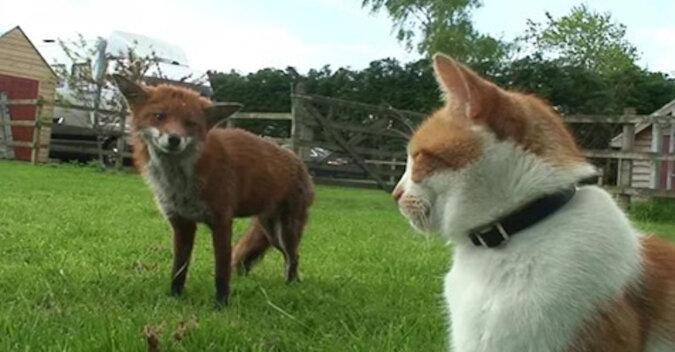 Dwa lisy uratowały się od polowania na cudzym podwórku, a potem zaprzyjaźniły się z właścicielem