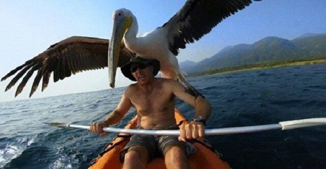 Uratowany przed śmiercią pelikan ani na krok nie odchodzi od swego wybawiciela