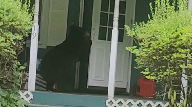 Niezdarny włamywacz? Niedźwiedź z łatwością prawie się włamał do domu człowieka. Wideo