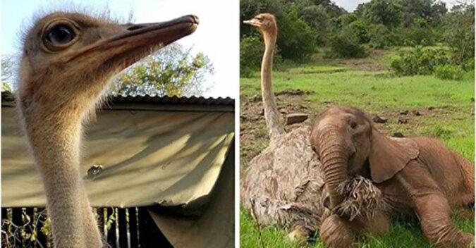 Osieroconego słonia pocieszył struś. Teraz ta dwójka cały czas się przytula