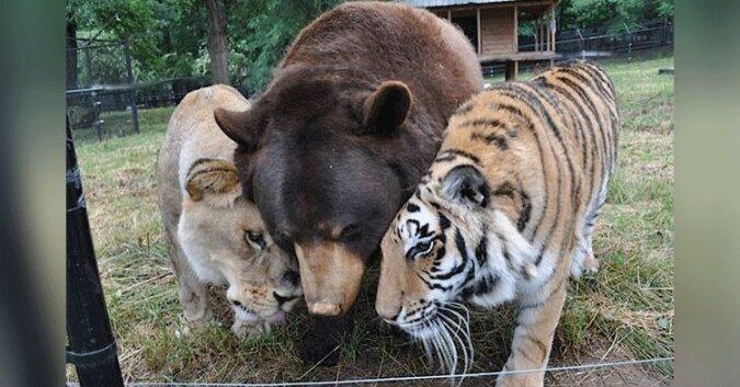 Lew, tygrys i niedźwiedź są przyjaciółmi na całe życie po uratowaniu ich gdy byli mali