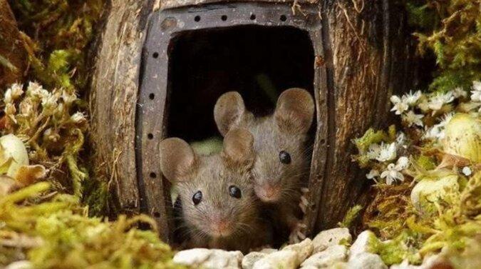Brytyjczyk znalazł myszy w swoim ogrodzie, ale nie pozbył się ich, a zbudował dla nich całą wioskę