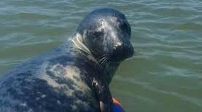 Przyjazna foka poopalała się z turystą. Wideo