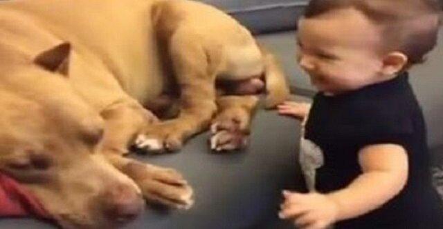 Dziecko koniecznie chciało obudzić pit bulla. Zobaczcie, co zrobił pies od razu po obudzeniu się