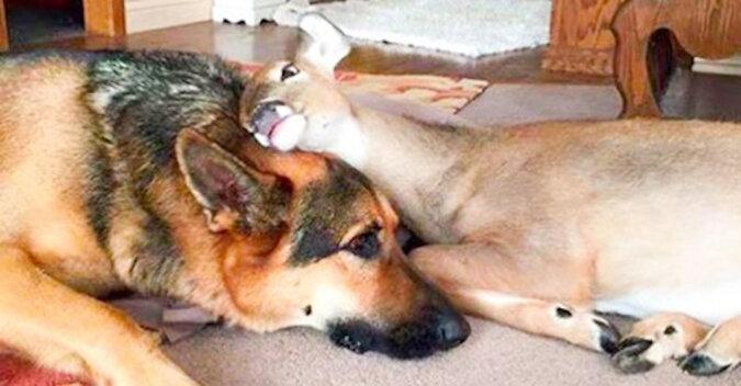 Pewna kobieta uratowała jelonka sierotę, a jej pies zaczął się nim opiekować