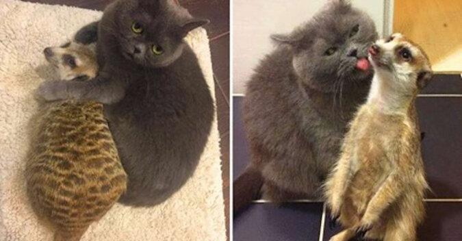 Urocza para: surykatka i kot podbiły sieć