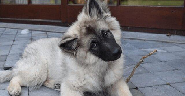 Piękne wideo o niezdarnym szczeniaku wolfszpic o imieniu Arco, próbującym wspiąć się na kanapę
