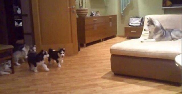 Do pokoju wbiegają szczenięta husky. Zobacz jak mama ich zabawia