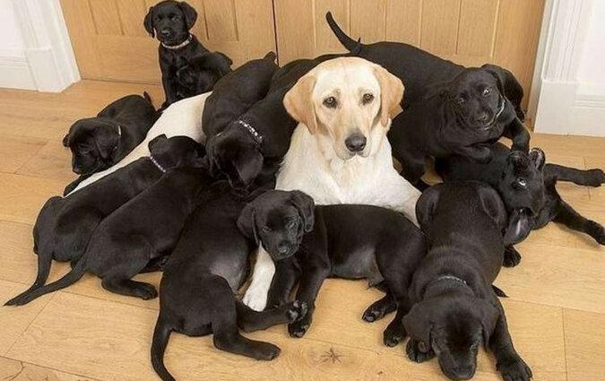 Złotej mamie-labrador urodziło się 13 czarnych szczeniąt. Okazało się, że winny jest tata