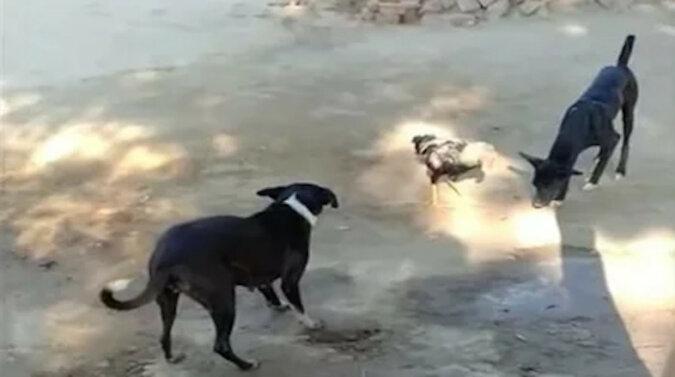 Trafili w niewłaściwą dzielnicę: dzielny kogut wdał się w bójkę z dwoma psami i wygrał. Wideo
