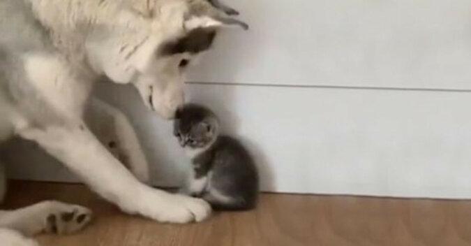 Spotkanie husky'ego z małym kotkiem. Wzruszające wideo