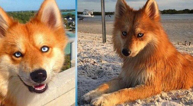 Pomsky: niezwykły lis-pies doprowadza internautów do szału