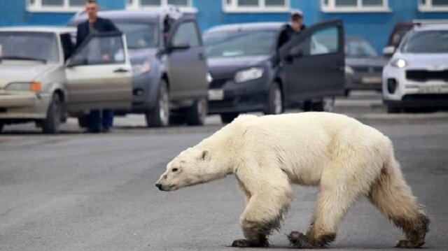 W poszukiwaniu jedzenia, biała niedźwiedzica pokonała ponad 500 km