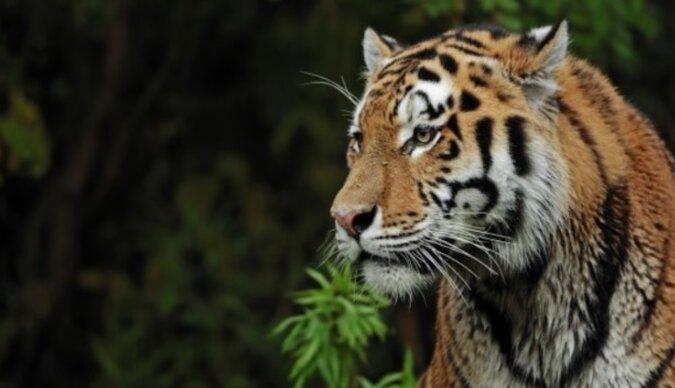 Tygrysica, aby uratować swoje dziecko przyszła do gajowego po pomoc