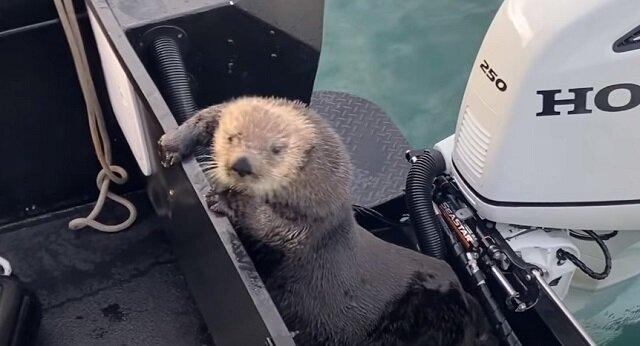 Wydra morska uciekła przed orkami na łódź i została nagrana na wideo