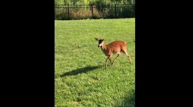Psy chciały się pobawić z samicą jelenia, ale zobacz co stało się dalej
