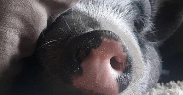 Para kupiła świnke miniaturową, ale wkrótce stało się jasne, że coś jest z nią nie tak