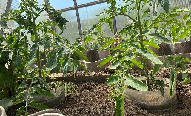Już nie podwiązuję krzaków pomidorów. Zobacz dlaczego