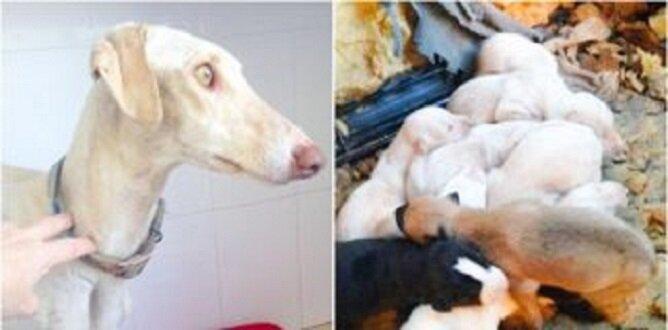 Matczyny wyczyn: ranny pies przeszedł 3 km, aby uratować swoje szczenięta