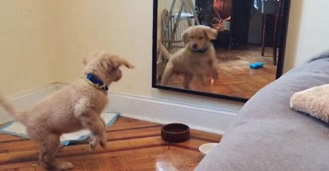 Słodki szczeniak po raz pierwszy zobaczył swoje odbicie w lustrze