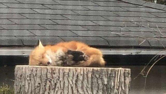 Słodki lis śpiący na pniu rozśmieszył wielu ludzi