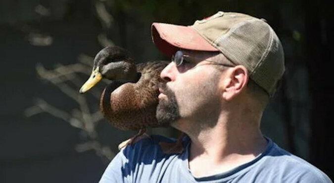 Mężczyzna pomógł dzikiemu kaczątku i teraz ono co noc wraca do swojego zbawiciela