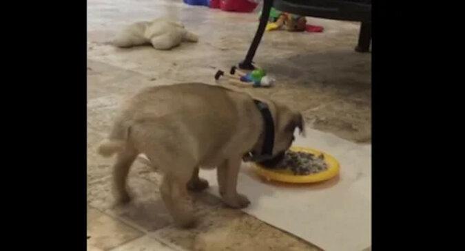 Głodny szczeniak nie mógł powstrzymać emocji na widok miski z jedzeniem – niesamowite wideo