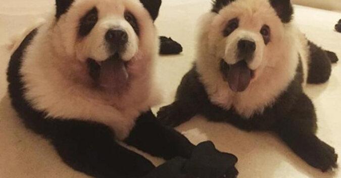 """Moda na psów """"pandy"""" powraca"""