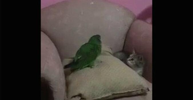 """Kto zostanie """"królem góry"""": kociak próbuje przejąć tytuł papugi. Wideo"""