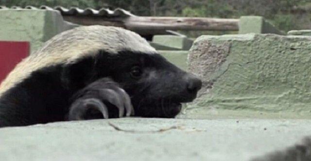 Wyjątkowy miodożer swoimi wybrykami doprowadził pracowników zoo do histerii