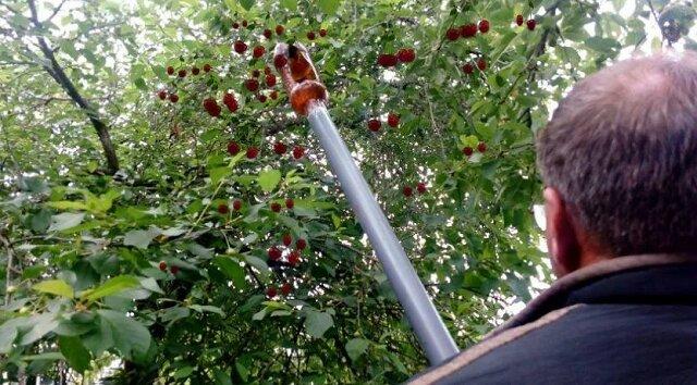 Urządzenie z butelki do zbierania jagód. Zbieramy wiśnie na wysokości z ziemi. Szybko i bez zadrapań zbieramy agrest i porzeczkę